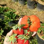 Obyek wisata petik strawberry di malang yang mengasikkan