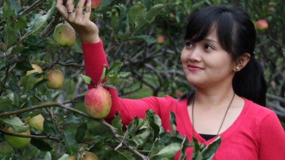 petik apel batu