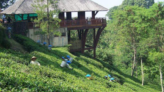 Kebun Teh Wonosari Tempat Outbound di Malang